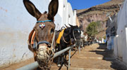Wearing wire muzzles the donkeys and mules wait patiently in the glaring sun